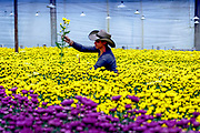 Flower farm worker gathers bunches of chrysantemums inside a greenhouse to make into bouquets that will be shipped around the world.  Medellin, Colombia is one of the world's biggest exporters of cut flowers because of its year round spring like temperatures.