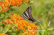 03006-00701 Zebra Swallowtail (Protographium marcellus) on Butterfly Milkweed (Asclepias tuberosa) Marion Co. IL