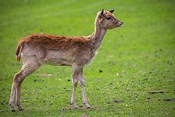 THEMENBILD - Damwild (Dama dama) im Wildpark Ferleiten, aufgenommen am 29. April 2018 in Taxenbacher-Fusch, Österreich // fallow deer (Dama dama) at the Wildlife Park, Taxenbacher-Fusch, Austria on 2018/04/29. EXPA Pictures © 2018, PhotoCredit: EXPA/ Stefanie Oberhauser