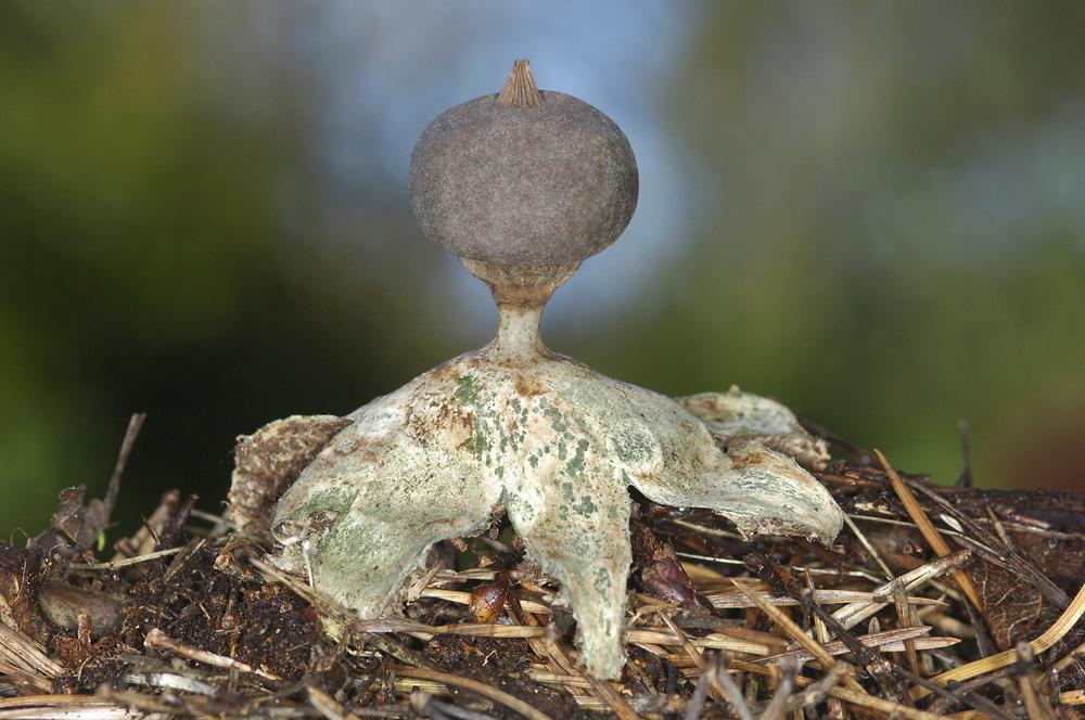 Beaked Earthstar - Geastrum pectinatum