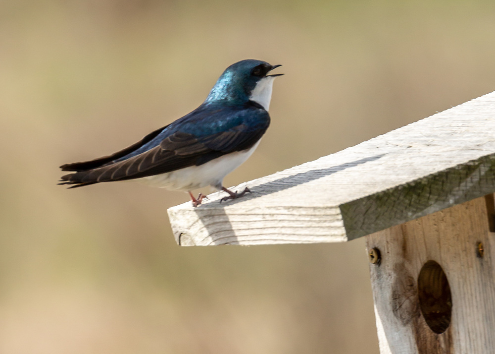 Tree Swallow calling on bluebird house rooftop in UW-Madison Arboretum on first Sunday in May. Photo taken May 3, 2020.
