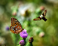 Great Spangled Fritillary feeding on on Thistle flowers. Image taken with a Nikon D4 camera and 300 mm f/4 lens.