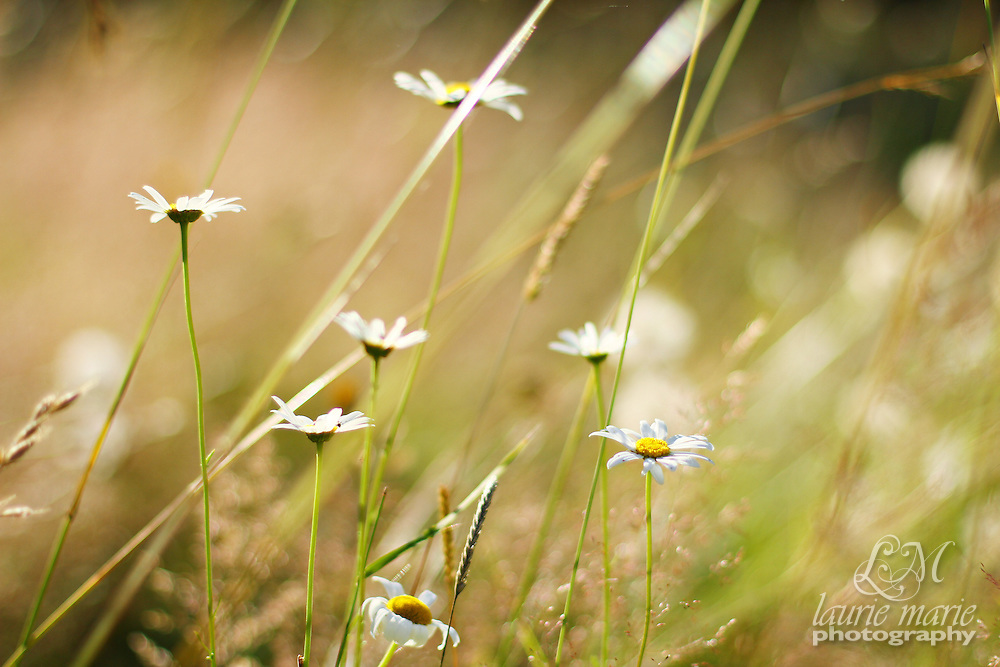 Field of Daisies in the sun