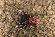 Ladybird Spider - Eresus niger