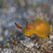 Tiny yellow Tambja sp. nudibranch in Lembeh Strait, North Sulawesi, Indonesia. Orange rhinophores with purple base and tips, white gills with purple tips.