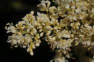 Ivory Silk Japanese Tree Lilac growing in the arboretum along Tioga-Hammond Lakes.