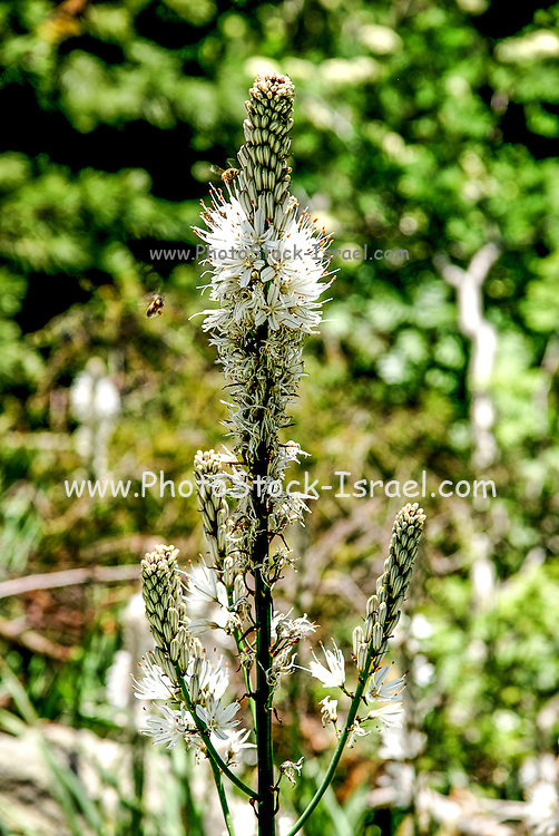 White Asphodel Plant, Asphodelus albus. Flower close up. Photographed in the Pyrenees Mountains Spain
