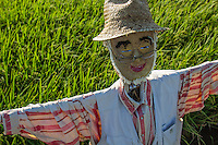 A scarecrow is a special type of decoy in the shape of a human placed in fields to keep birds from disturbing and feeding on seed and crops. Modern scarecrows, though remaining decoys, sometimes take other shapes. Reflective aluminum ribbons are tied to plants to shimmer in the sun. In Japan, kakashi is the modern Japanese word for a scarecrow, though there are references in Shinto mythology of the Kuebiko god of agriculture, represented as a scarecrow.  These days scarecrow events and festivals are popular around the world in Autumn.  They are held in Scotland, Canada, Japan, the USA and the United Kingdom.