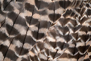 Close-up abstract of the wing feathers of a saker falcon (Falco cherrug) at the Long Sutton Wildlife Park in Lincolnshire