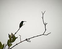 Green-throated Mango (Anthracothorax viridigula). Caroni Bird Sanctuary, Caroni Swamp, Trinidad, Image taken with a Nikon D3s camera and 70-300 mm VR lens.