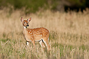 Whitetail fawn (Odocoileus virginianus) during summer in Wyoming