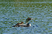 Common loon (Gavia immer) with chick on Cassels Lake<br /> Temagami<br />