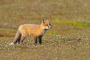 A young red fox kit (Vulpes vulpes) looks out over a field in the San Juan Island National Historical Park in Washington state. Red foxes were introduced to San Juan Island in the early 1900s in an attempt to control the population of European rabbits, which were also introduced to the island.
