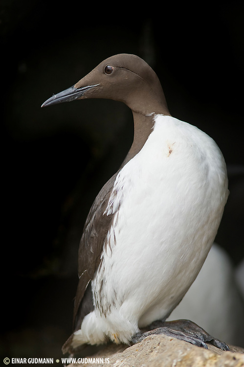 Taken against a dark cave behind the Guillemot. The Common Murre or Common Guillemot (Uria aalge) is a large auk. It is also known as the Thin-billed Murre in North America.