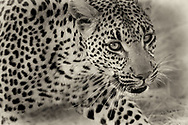 Leopard strategizes to avoid detection by her prey. She gets low and walks with delicate grace balanced with a hunter's vigilance, focus and prowess. Once in close proximity, she makes her move.