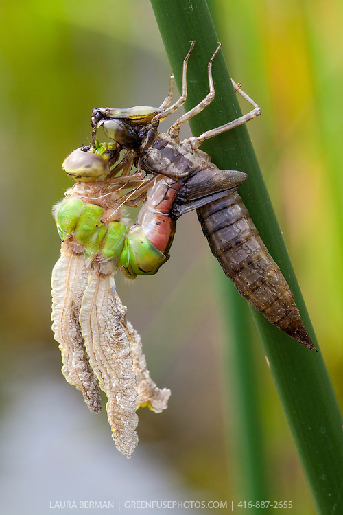 Emerging Green Darner dragonfly from late instar larval nymph stage (Anax Junius.).