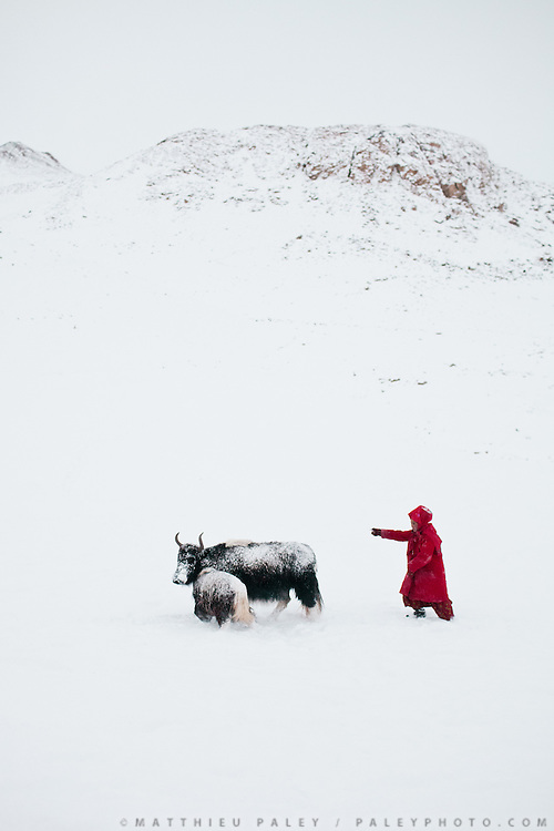 A young Kyrgyz girl leading a yak and its calf back to camp..In and around Ech Keli, Er Ali Boi's camp, one of the richest Kyrgyz in the Little Pamir...Trekking with yak caravan through the Little Pamir where the Afghan Kyrgyz community live all year, on the borders of China, Tajikistan and Pakistan.
