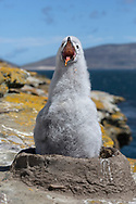 Black-browed Albatross - Thalassarche melanophris - chick on nest