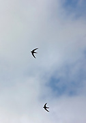 Pair of migrating Swifts, Apus apus,  in the sky in Gloucestershire, UK