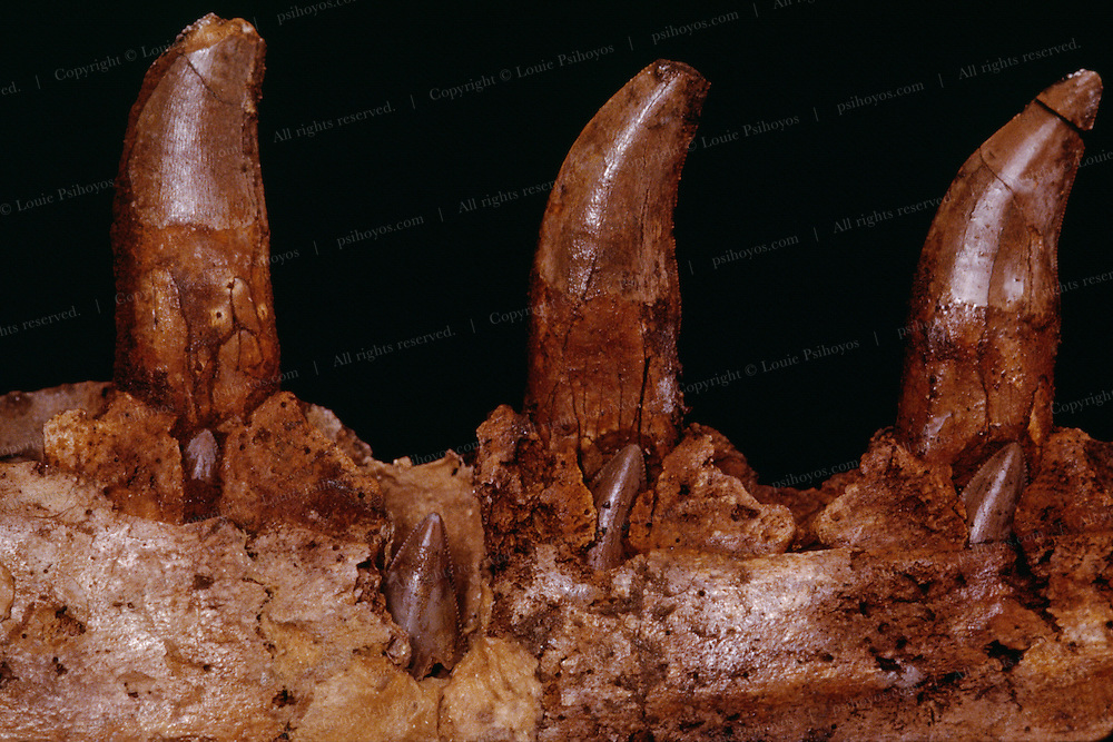 Dinosaurs, like sharks, continually shed their teeth when feeding and new teeth would sprout up to take a broken ones place like on this Megalosaurus jaw from the Museum of Natural History in London<br /> Shed teeth of Jurassic Perpetrator Allosaurus found at Como Bluff by paleontologist Bob Bakker.