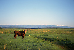 Bull standing alone in an open field in New Mexico