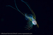 A rare post larval Bony Ass Fish, Acanthonus armatus, swims in the Gulf Stream Current offshore Palm Beach, FL.  The adults of the species will inhabit depths exceeding 10,000 ft.