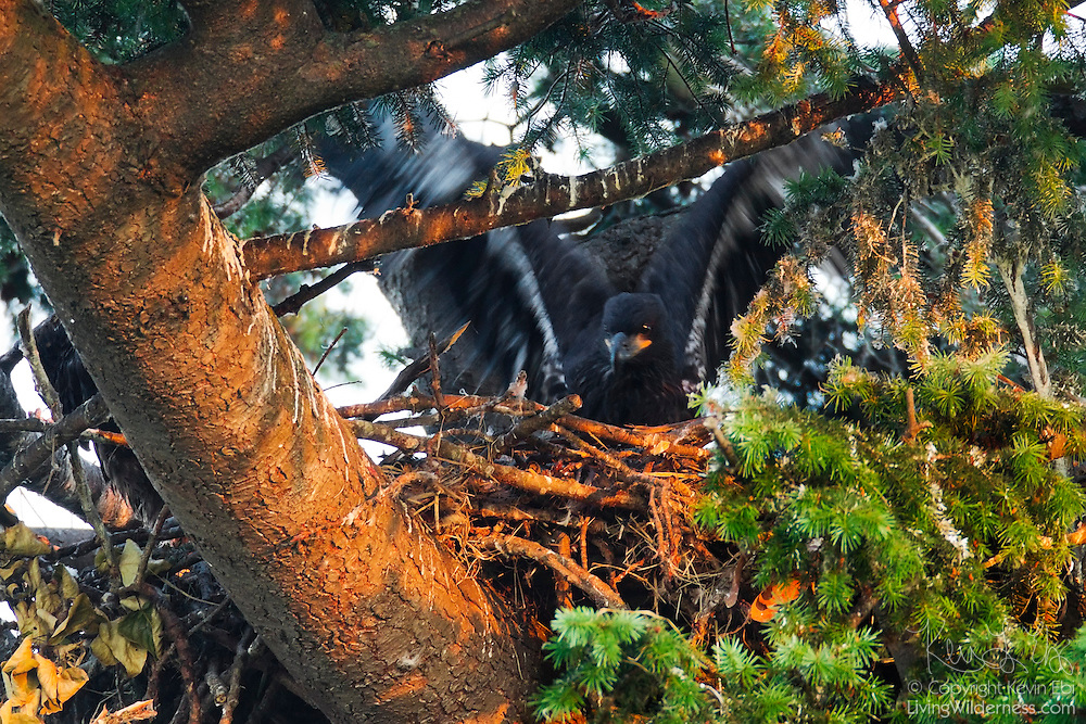 A bald eagle chick (Haliaeetus leucocephalus) that is just over one month old tests its wings while sitting on the nest. It spent several more weeks flapping its wings on the nest, standing at the edge of the nest, and climbing onto branches before it made its first flight.