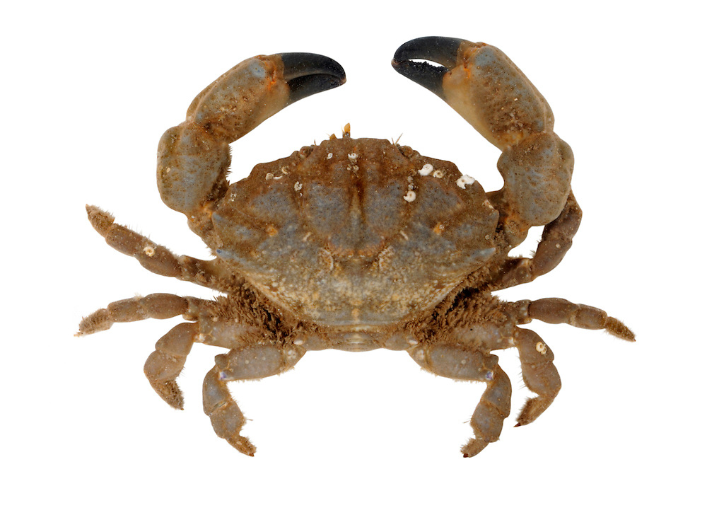 Furrowed Crab - Xantho incisus
