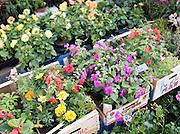 Flowers in a market in Valence, Drôme region, France