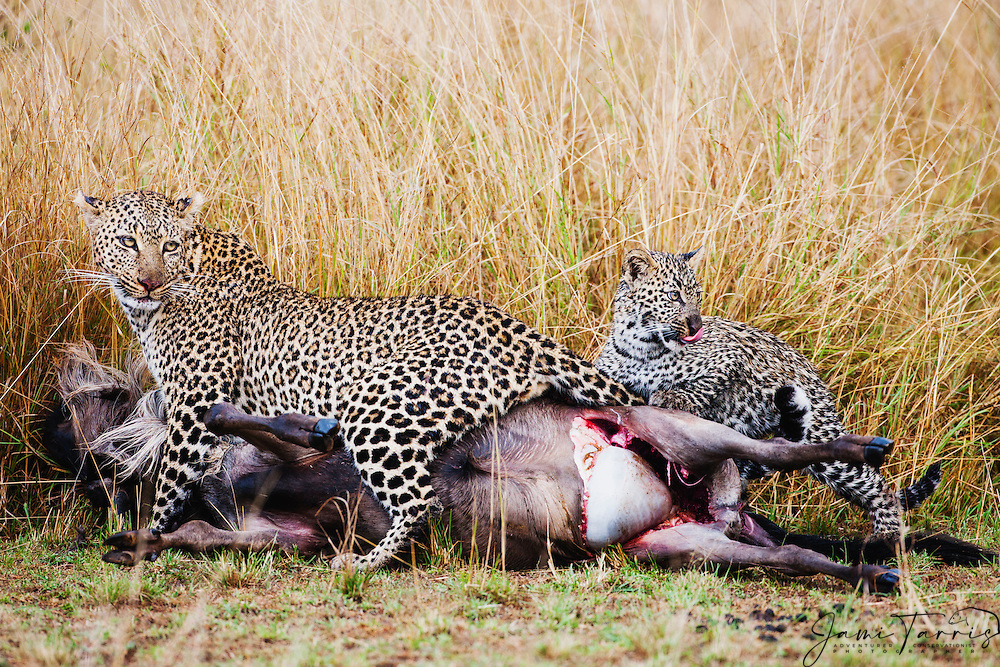 With her cubs on a cold rainy day, a female leopard ( Panthera pardus ) drags a fresh kill through the grass to a safe hiding place , Masai Mara, Kenya,Africa