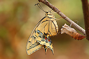 Old World Swallowtail (Papilio machaon) Butterfly emerging from its cocoon shot in Israel, Summer August