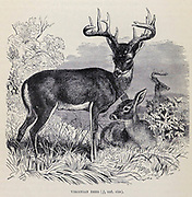 The white-tailed deer (Odocoileus virginianus), also known as the whitetail or Virginia deer, is a medium-sized deer native to North America, Central America, Ecuador, and South America as far south as Peru and Bolivia From the book ' Royal Natural History ' Volume 2 Edited by Richard Lydekker, Published in London by Frederick Warne & Co in 1893-1894