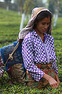 Tea plucker at Ambootia fair trade Tea plantation, Darjeeling, India