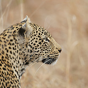 Portrait of Leopard. Londolozi Private Game Reserve. South Africa.