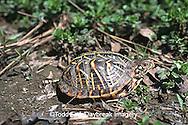 02539-001.06 (TF) Ornate box turtle (Terrapene ornata)    IL