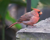 Northern Cardinal. Image taken with a Leica SL2 camera and Sigma 150-600 mm sport lens.
