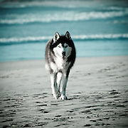 Alaskan Husky