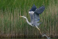 Grey Heron (Ardea cinerea), Texel, the Netherlands