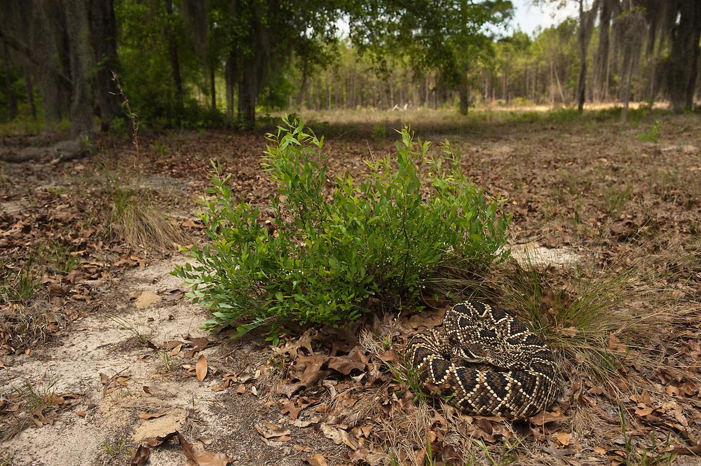 Eastern Diamondback Rattlesnake (Crotalus adamanteus)<br /> CAPTIVE<br /> The Orianne Indigo Snake Preserve<br /> Telfair County. Georgia<br /> USA<br /> RANGE: Southern United States