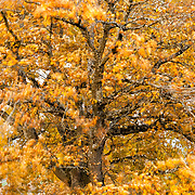 Stormy day in November, Oak tree with some late autumn colors moved by the wind