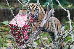 ZSL London Zoo, London, December 15th 2016. Christmas comes ten days early for the Sumatran tiger cubs at at ZSL London Zoo. Mother Melati and her two cubs Achilles and Karis wake up to Christmas presents in their enclosure and the two unruly six-month-old cubs set about opening them. PICTURED: Karis wrests a present from the branches of a dead tree.