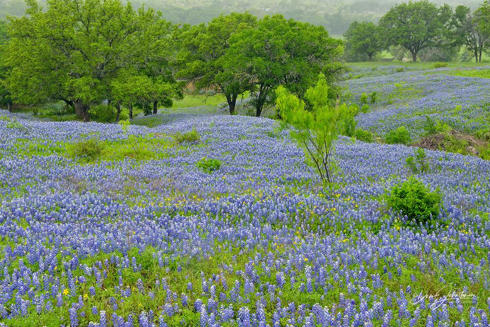 Flowering bluebonnets, Burnet County, Texas, USA