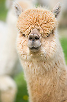 fawn coloured alpaca