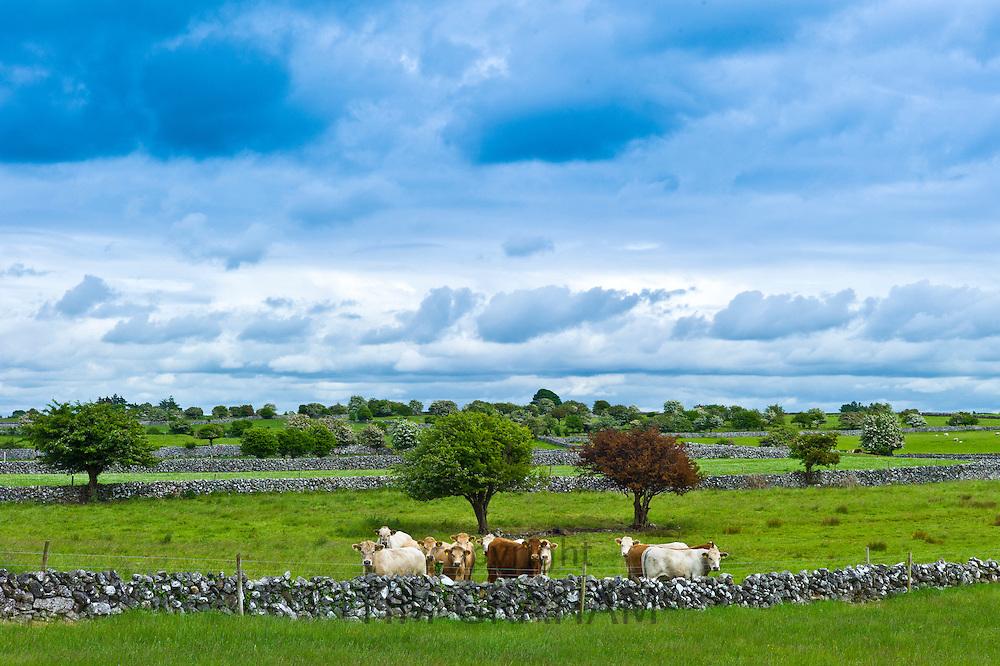 Cows in dry stone wall paddock near Ballinrobe, County Mayo, Ireland