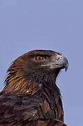 Golden Eagle Aquila chrysaetos, Colorado, foothills near Denver, portrait showing eyes and beak, bird of prey.