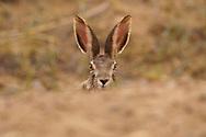 Portrait of a Desert Hare, Lepus tibetanus, sitting on ground in Inner Mongolia, China