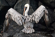 A Galapagos Brown Pelican (Pelecanus occidentalis, subspecies: urinator) spreads its wings to dry at Suaraz Point, a wet landing location on Española (Hood) Island, Galapagos Islands, Ecuador, South America. The Brown Pelican species lives strictly on coasts from Washington and Virginia south to northern Chile and the mouth of the Amazon River. Some immature birds may stray to inland freshwater lakes. Although large for a bird, the Brown Pelican is the smallest of the eight species of pelican. Adults are 106-137 cm (42-54 inches) in length, weigh from 2.75 to 5.5 kg (6-12 pounds), and have a wingspan from 1.83 to 2.5 m (6 to 8.2 feet). After nesting, North American birds move in flocks further north along the coasts, returning to warmer waters for winter. Their young are hatched in broods of about 3, and eat around 150 pounds of fish in the 8-10 month period they are cared for. The Brown Pelican bird differs from the American White Pelican by its brown body and its habit of diving for fish from the air, as opposed to cooperative fishing from the surface. It eats mainly herring-like fish. The nest location varies from a simple scrape on the ground on an island to a bulky stick nest in a low tree. Pelicans can live more than 30 years.