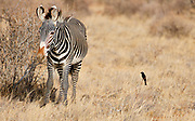 A grevy's zebra is being closely watched by a fork-tail drongo looking for food.  Samburu National Reserve, Kenya.