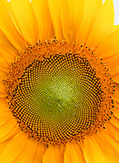 Close-up of giant sunflower