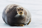 A bearded seal (Erignathus barbarous) resting on an ice floe, Svalbard, Norway